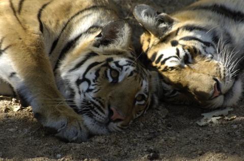 Tiger snuggle